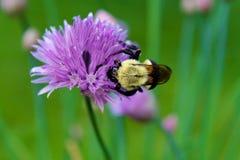Manosee la abeja en la planta de las cebolletas Imagen de archivo