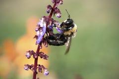 Manosee la abeja en la planta floreciente Imagen de archivo libre de regalías