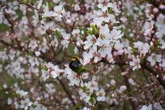 Manosee la abeja en la rama floreciente de la cereza suave Fotos de archivo libres de regalías