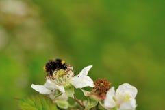Manosee la abeja en la zarza Foto de archivo libre de regalías