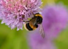 Manosee la abeja en las cebolletas Fotografía de archivo