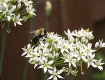Manosee la abeja en las floraciones blancas de la flor de la cebolla salvaje Fotografía de archivo