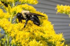Manosee la abeja en las flores Imagen de archivo
