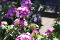 Manosee la abeja en las flores Imagenes de archivo