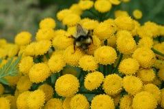 Manosee la abeja en las flores Foto de archivo