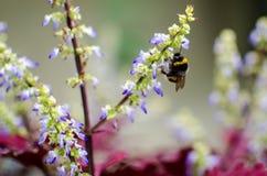 Manosee la abeja en las flores azules Imagenes de archivo