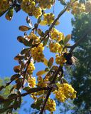 Manosee la abeja en las flores del bérbero decorativo Imagen de archivo libre de regalías