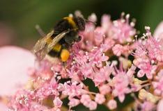 Manosee la abeja en las flores del hortensia Fotos de archivo