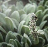 Manosee la abeja en las flores del jardín en el fondo natural, al aire libre Fotos de archivo libres de regalías