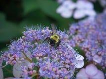 Manosee la abeja en las flores púrpuras Imagen de archivo
