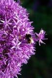 Manosee la abeja en las flores púrpuras Foto de archivo libre de regalías