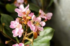 Manosee la abeja en las flores rosadas Fotografía de archivo