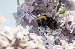 Manosee la abeja en las lilas Imagenes de archivo