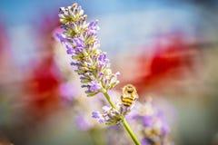 Manosee la abeja en la lavanda Fotos de archivo