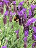 Manosee la abeja en lavanda Imagen de archivo libre de regalías