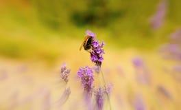 Manosee la abeja en la lavanda con anillo borroso Foto de archivo
