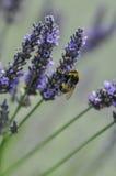Manosee la abeja en Lavendar Fotografía de archivo