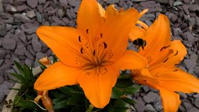 Manosee la abeja en Lillies anaranjado foto de archivo libre de regalías