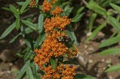 Manosee la abeja en mala hierba de mariposa Foto de archivo