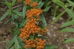 Manosee la abeja en mala hierba de mariposa Foto de archivo libre de regalías