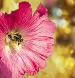 Manosee la abeja en malva de la flor Foto de archivo