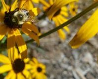 Manosee la abeja en Negro-Observar Susan con grava Imagenes de archivo