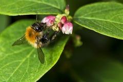 Manosee la abeja en la pequeña flor Imagen de archivo