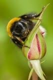 Manosee la abeja en rosa del rosa Fotos de archivo libres de regalías