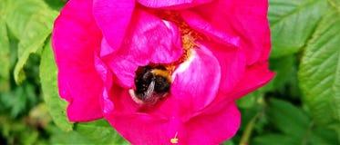 Manosee la abeja en rosa del rosa Fotografía de archivo