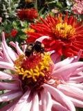 Manosee la abeja en rosa foto de archivo libre de regalías