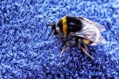 Manosee la abeja en la toalla azul Fotos de archivo libres de regalías