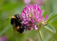 Manosee la abeja en trébol rosado Fotografía de archivo libre de regalías