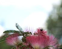 Manosee la abeja en un árbol rosado de la mimosa Fotografía de archivo