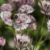Manosee la abeja en un Astrantia Imagen de archivo libre de regalías
