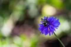 Manosee la abeja en un botón del soltero Fotos de archivo