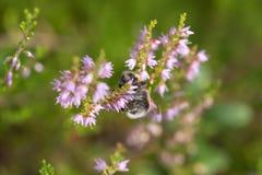 Manosee la abeja en un brezo floreciente Fotos de archivo libres de regalías