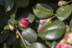 Manosee la abeja en un brote de la rosa Imagen de archivo