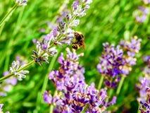 Manosee la abeja en un campo de la lavanda fotos de archivo