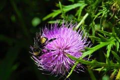 Manosee la abeja en un cardo Imagen de archivo