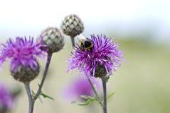 Manosee la abeja en un cardo Fotografía de archivo