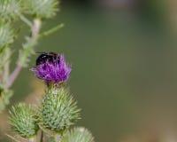 Manosee la abeja en un cardo Fotos de archivo libres de regalías