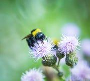 Manosee la abeja en un cardo Imágenes de archivo libres de regalías