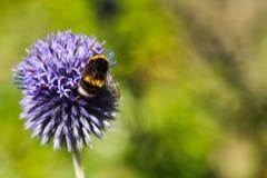 Manosee la abeja en un cardo azul Imagen de archivo