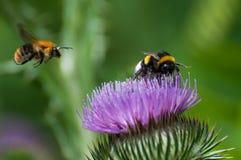 Manosee la abeja en un cardo floreciente púrpura Fotografía de archivo libre de regalías