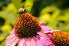 Manosee la abeja en un Coneflower púrpura Foto de archivo