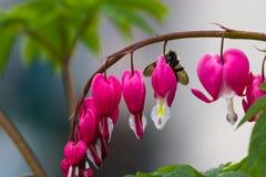 Manosee la abeja en un corazón sangrante Fotografía de archivo