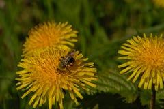 Manosee la abeja en un diente de león - officinale del Taraxacum Fotografía de archivo