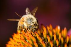 Manosee la abeja en un echinacea Fotografía de archivo