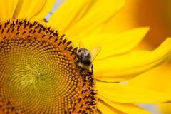 Manosee la abeja en un girasol Foto de archivo libre de regalías