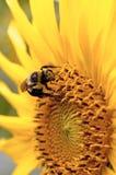 Manosee la abeja en un girasol Fotografía de archivo libre de regalías